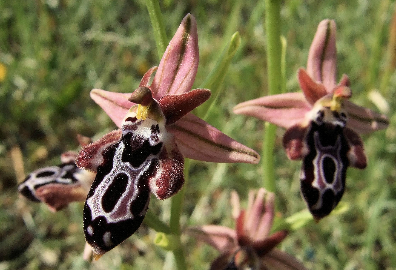Ophrys cretica ssp. beloniae