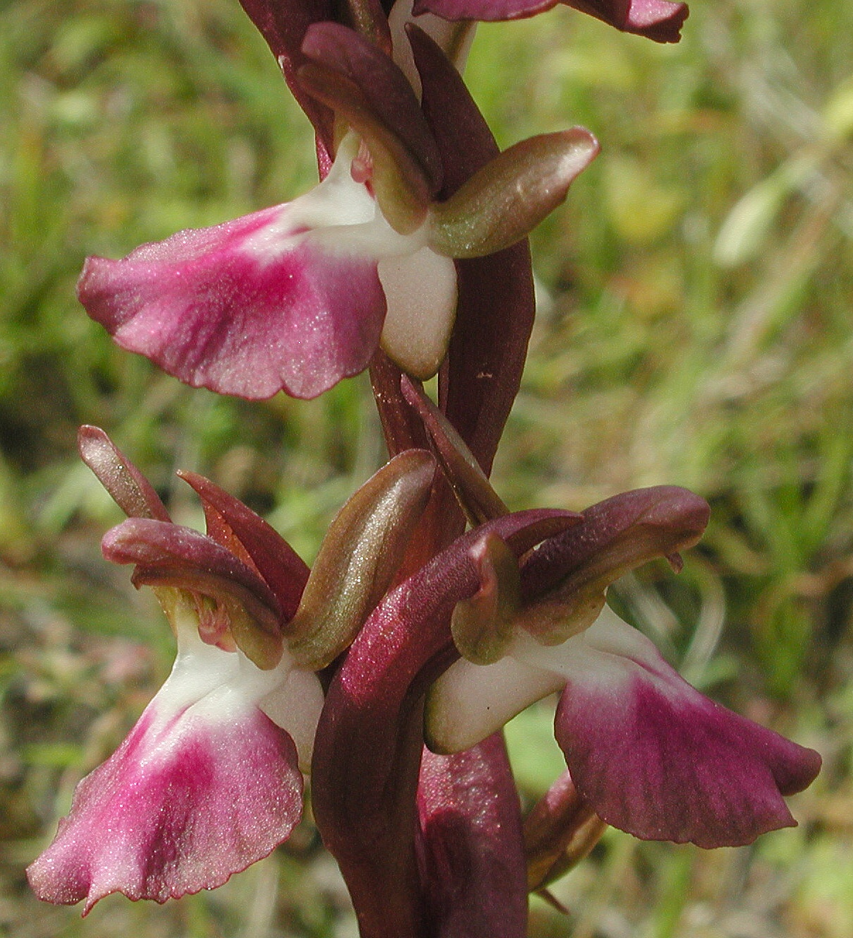 Orchis collina