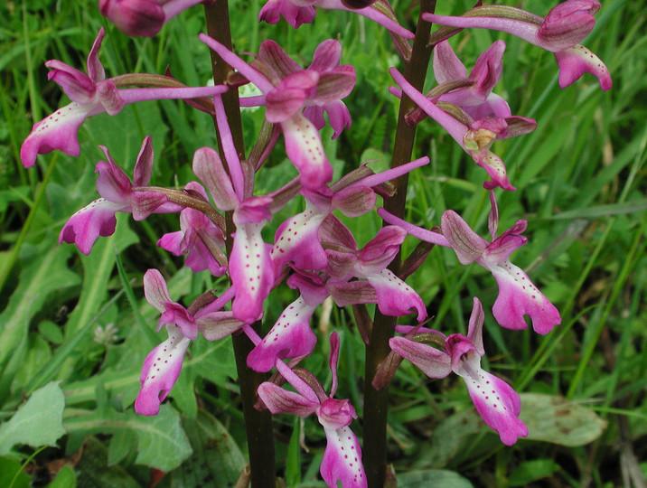 Orchis anatolica
