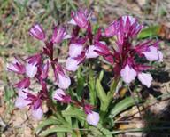 Orchis papilionacea ssp. heroica