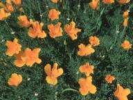 Eschscholtzia californica