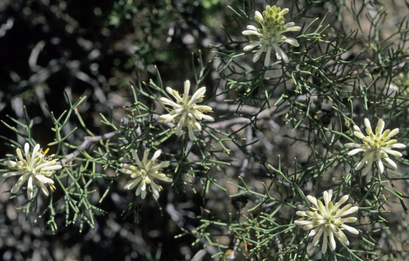 Petrophile conifera