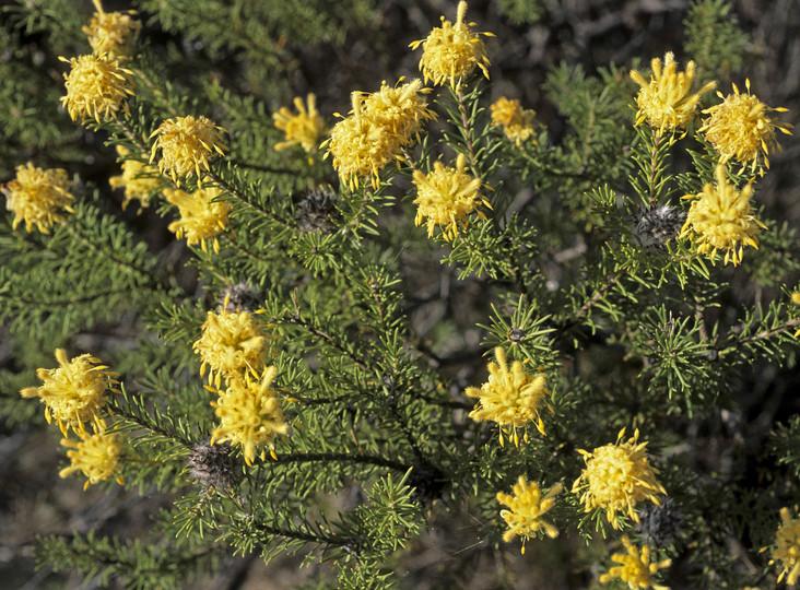 Petrophile chrysantha