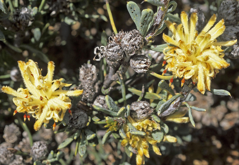 Petrophile plumosa