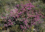 Phymatocarpus maxwellii