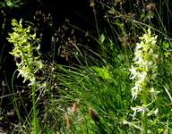 Platanthera bifolia ssp. latiflora