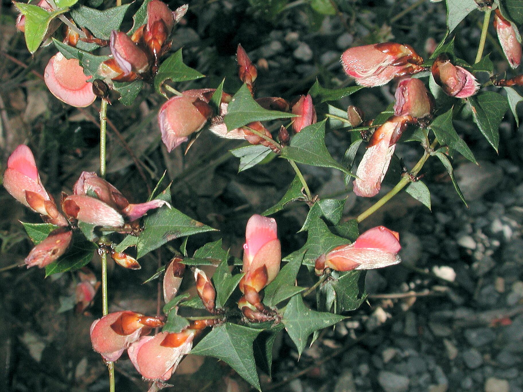 Platylobium obtusangulum