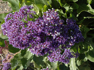 Limonium sp.