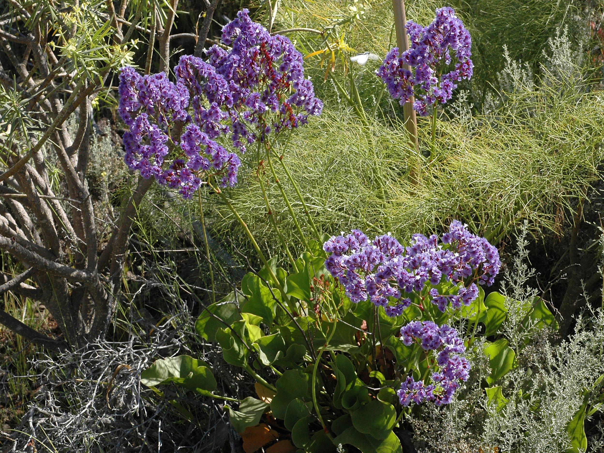 Flower Gallery Plumbaginaceae NIKA2669