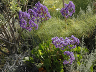 Limonium preauxii