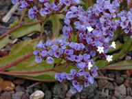 Limonium brassicifolium