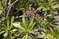 Limonium dendroides