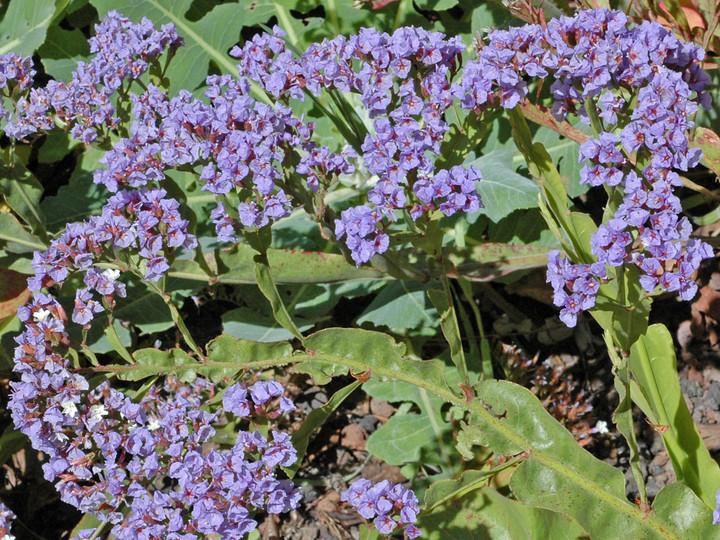 Limonium brassicifolium