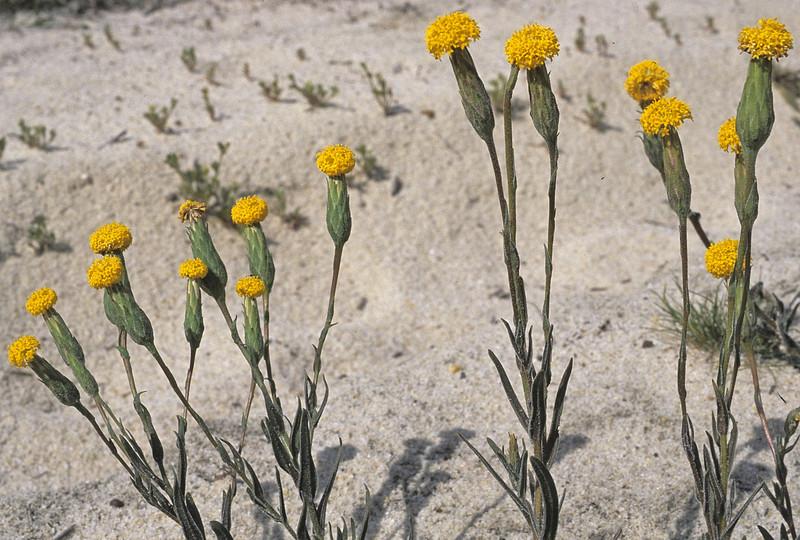 Podotheca gnaphaloides