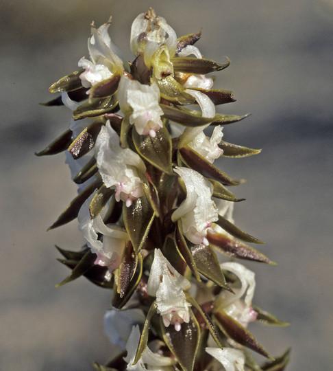 Prasophyllum elatum