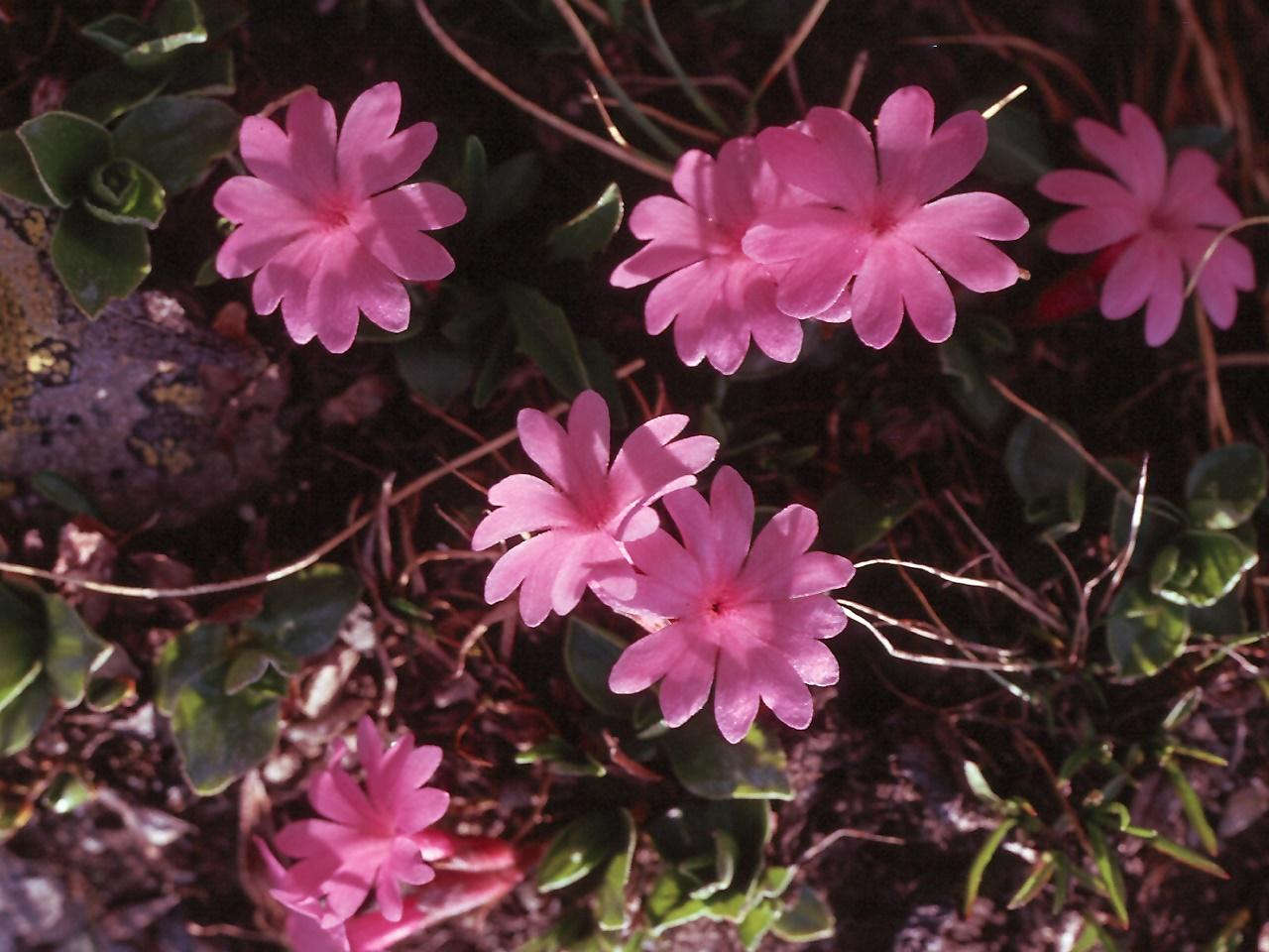 Primula integrifolia