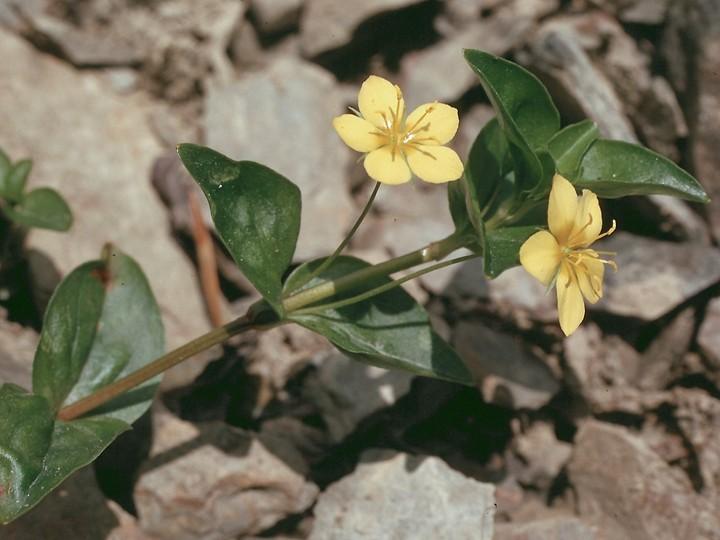 Lysimachia nemoreum