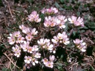 Androsace carnea