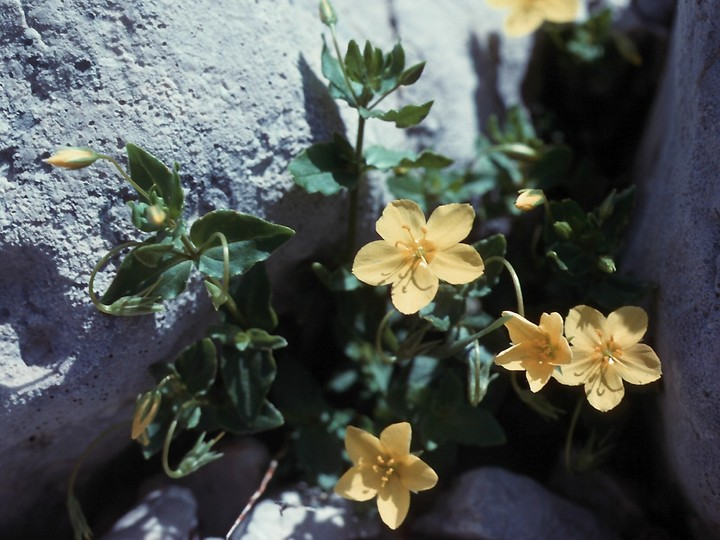 Lysimachia serpyllifolia?