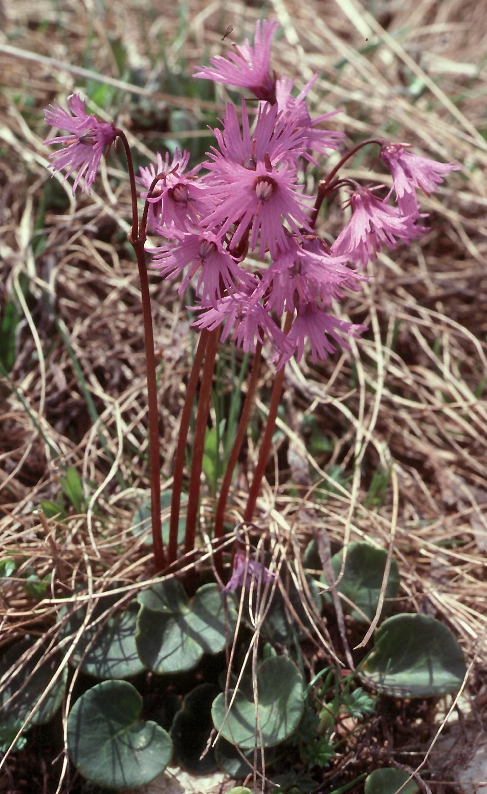 Soldanella alpina