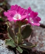 Primula daouensis
