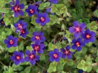 Anagallis foemina