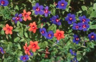 Anagallis arvensis