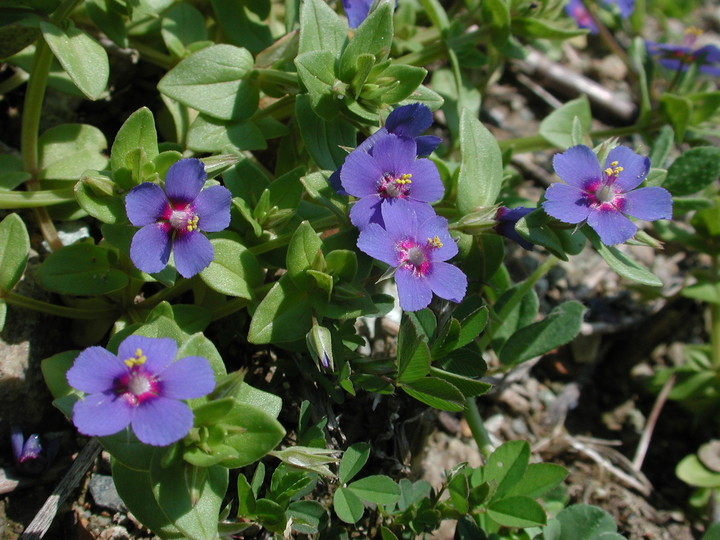 Anagallis arvensis ssp. caerulea