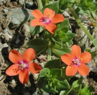 Anagallis arvensis ssp. arvensis