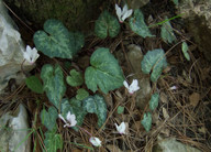 Cyclamen rhodium