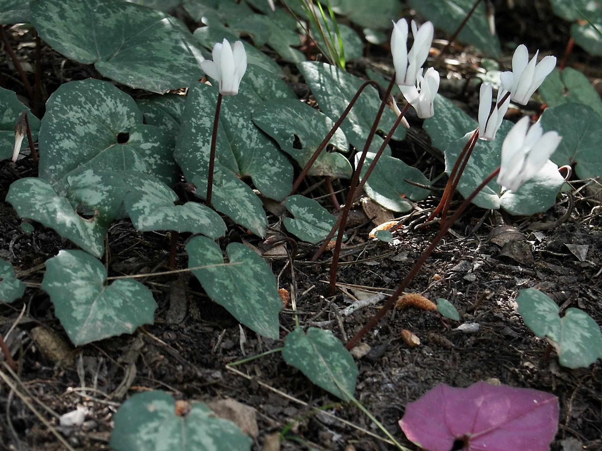 Cyclamen balearicum