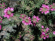 Pultenaea subalpina