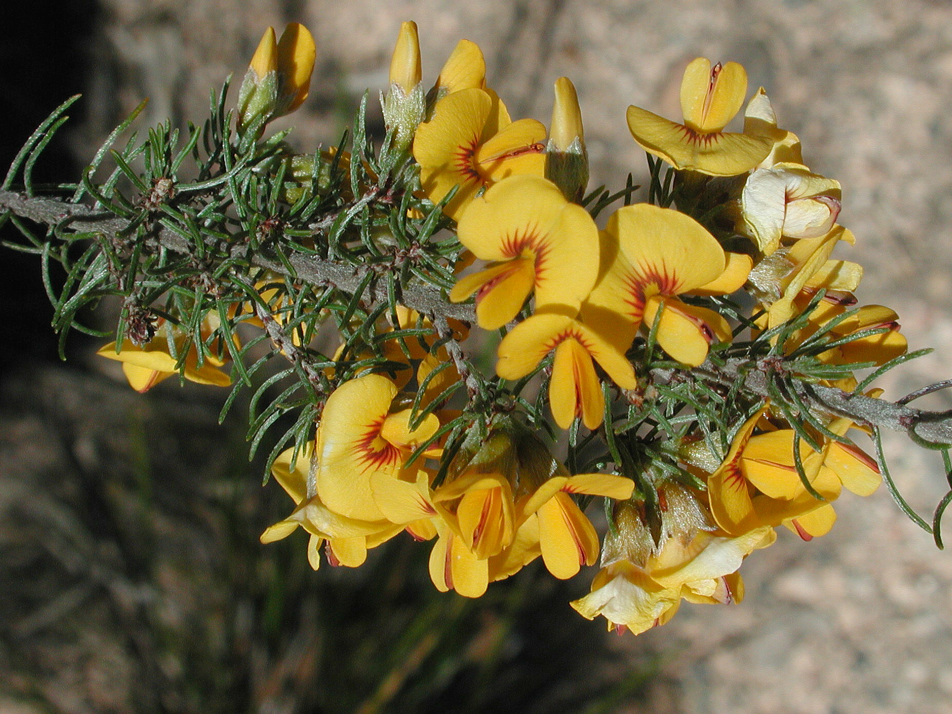 Pultenaea mollis