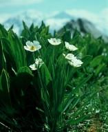 Ranunculus pyrenaeus ssp. plantagineus