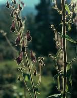 Aconitum septentrionalis
