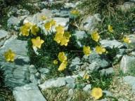 Ranunculus sartorianus