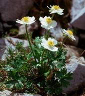 Ranunculus sp.2