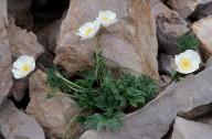 Ranunculus seguieri?