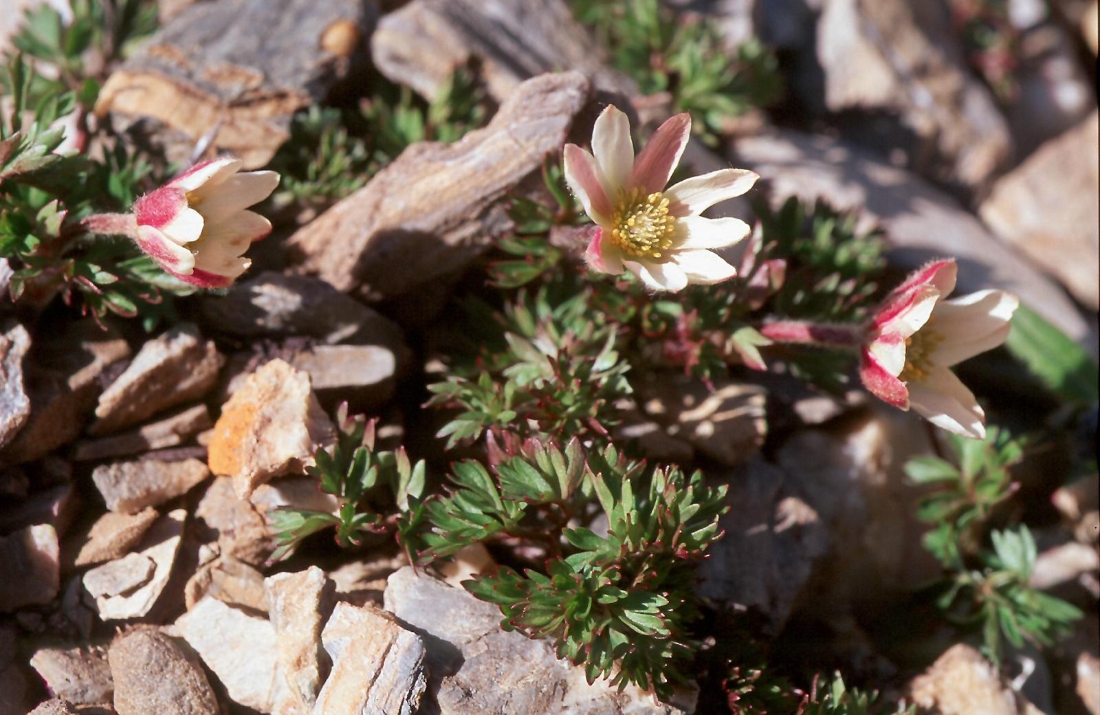 Anemone baldensis