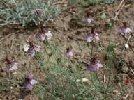 Nigella arvensis