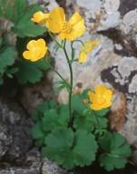 Ranunculus creticus