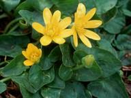 Ranunculus ficaria ssp. chrysocephala