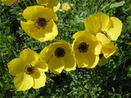 Ranunculus asiaticus
