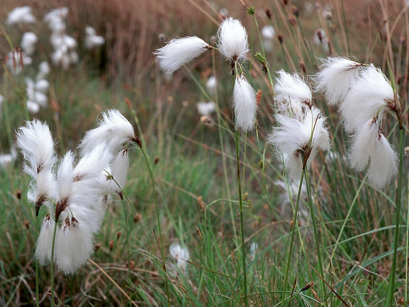 Eriophorum latifolium