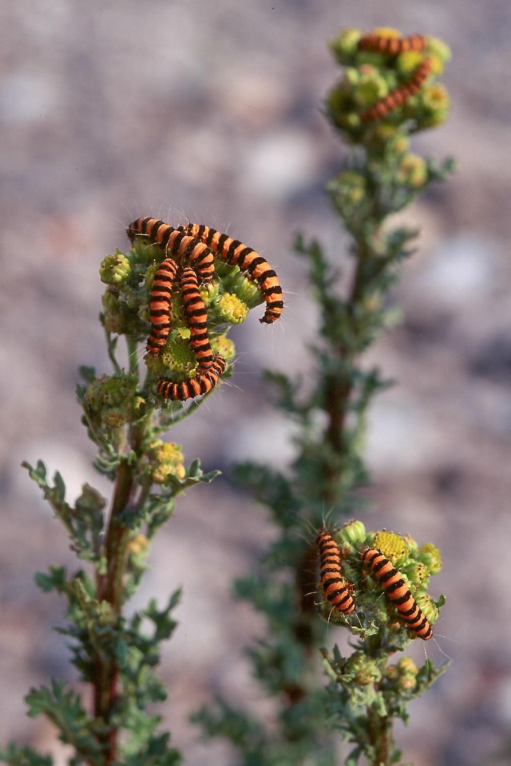 Senecio jacobaea ssp. dunensis