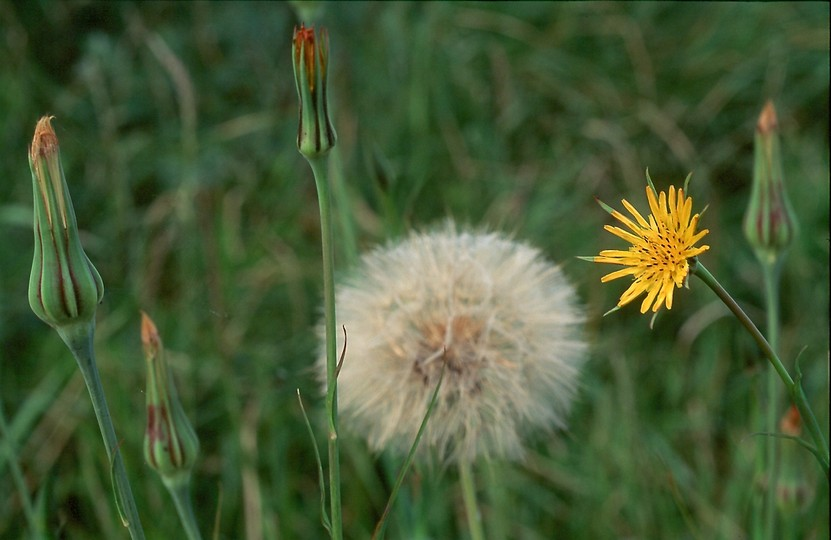Tragopogon pratensis ssp. minor