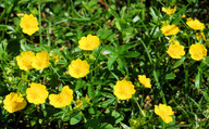 Potentilla aurea