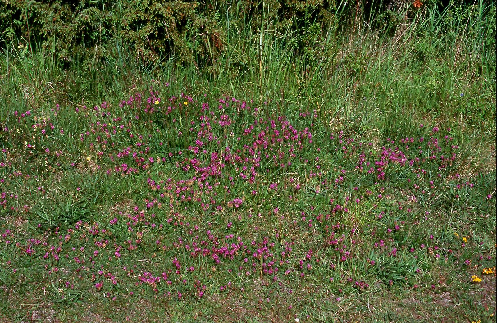 Astragalus danicus