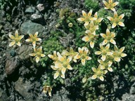 Saxifraga bryoides