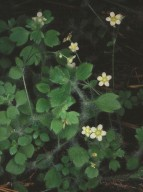 Saxifraga arachnoidea
